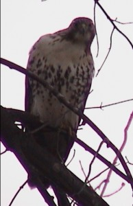What kind of bird is this looking straight at us?