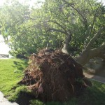 Uprooted Tree - 14th and Redfield