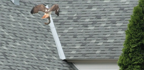 Hawk flying away with squirrel