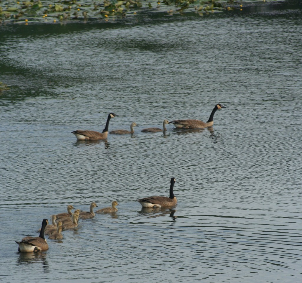 Two families of Canadian geese on the La Crosse River Marsh, as seen from the nearby bike trail.