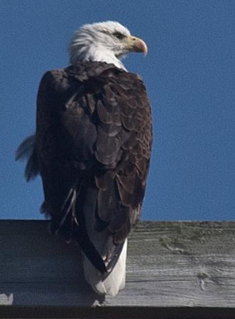 Bald Eagle on La Crosse Marsh