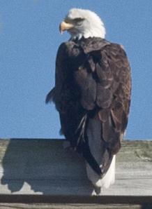 Bald Eagle near La Crosse