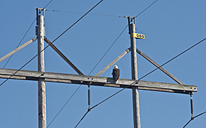 Eagle on power tower