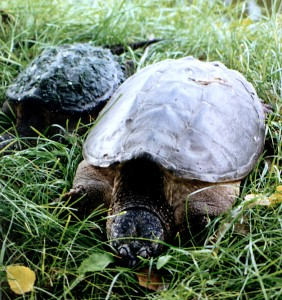 We literally stumbled onto these turtles in a park near Lake Winona (Minnesota) in the summer of 1999.