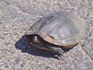 Turtle on Blacktop