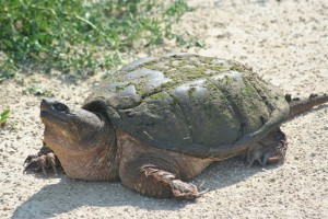 Large turtle on the bike trail.