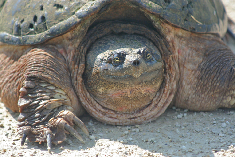 Snapping Turtle Close-up