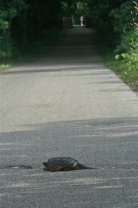 A turtle crosses the bike trail on the La Crosse Marsh.